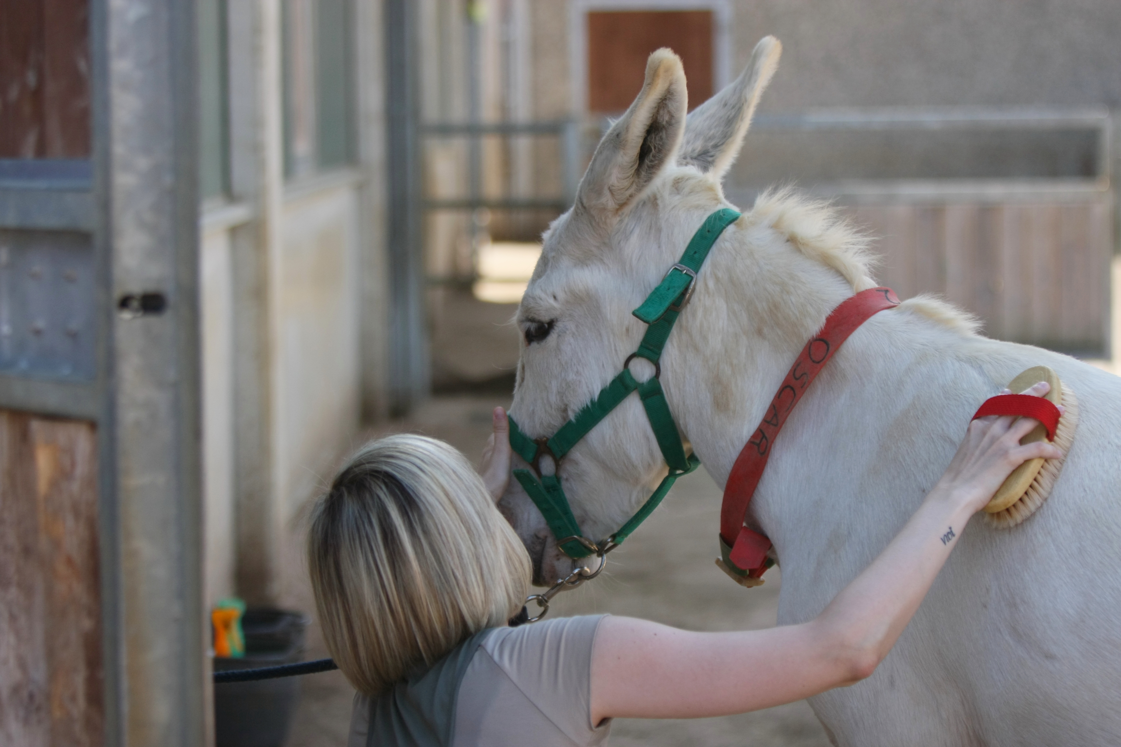 During Grooming Day visitors can learn how to brush donkeys supervised by our staff