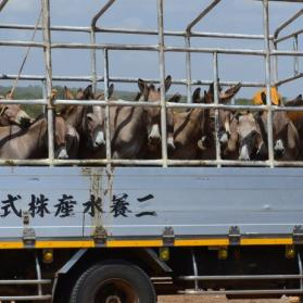 Donkeys waiting to be slaughtered