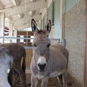 Donkeys inside the stables